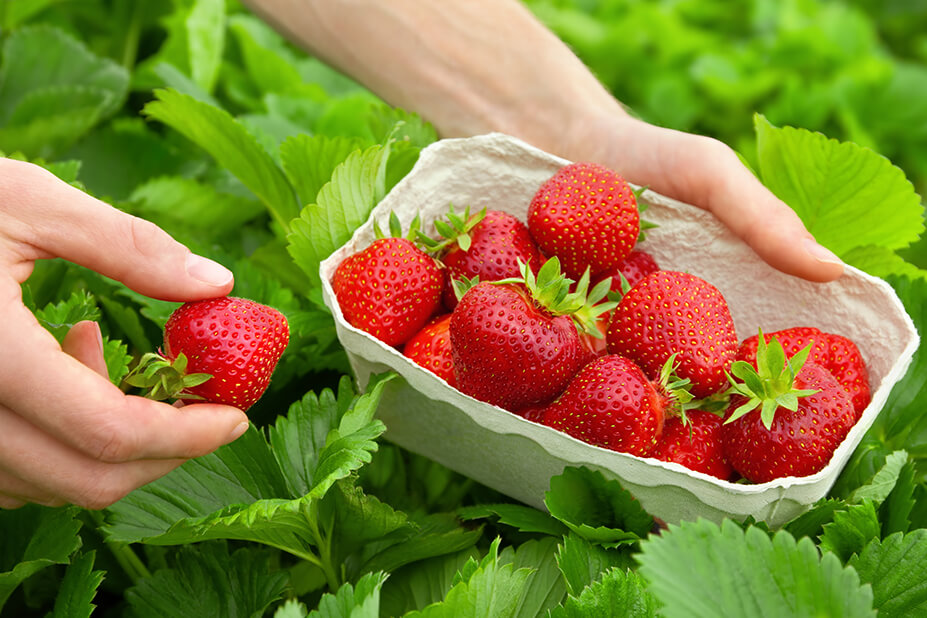 The heaviest strawberry weighs 250 g (8.82 oz), which was grown by Koji Nakao (Japan) and was weighed in Fukuoka, Fukuoka, Japan, on 28 January 2015.