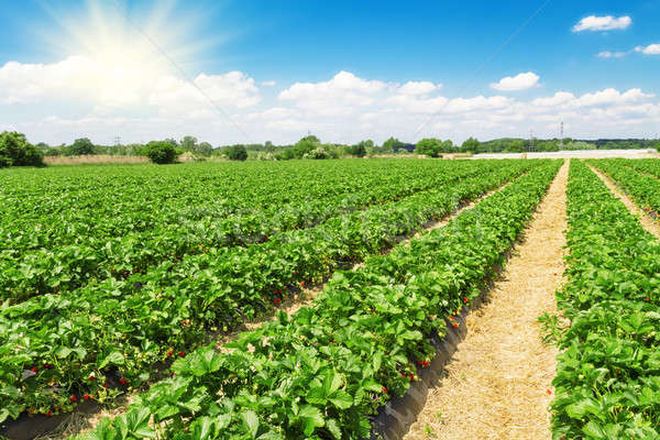 The largest producing state, California harvests 83% of the strawberries grown in the U.S. on approximately 24,500 acres.