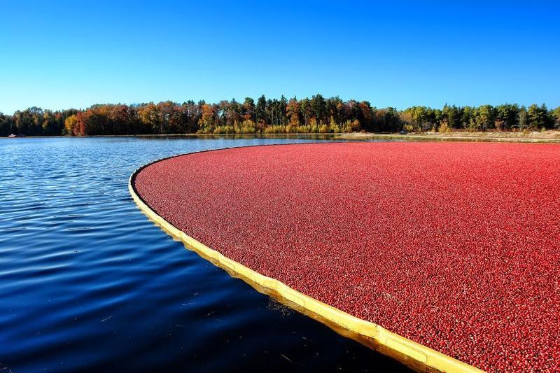 The oldest cranberry bed in Wisconsin is 139 years old (2013).