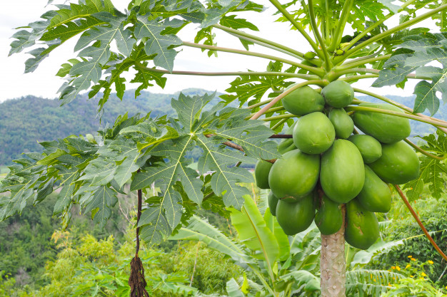 The papaya is the fruit of the Carica Papaya tree