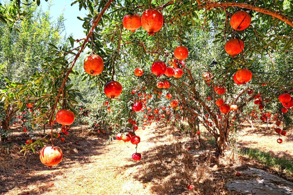 The pomegranate tree only bears fruit in a hot, dry climate.