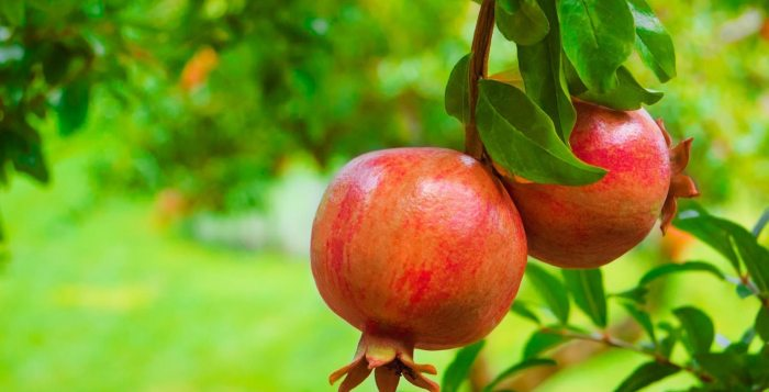 There are over 760 varieties of pomegranate.