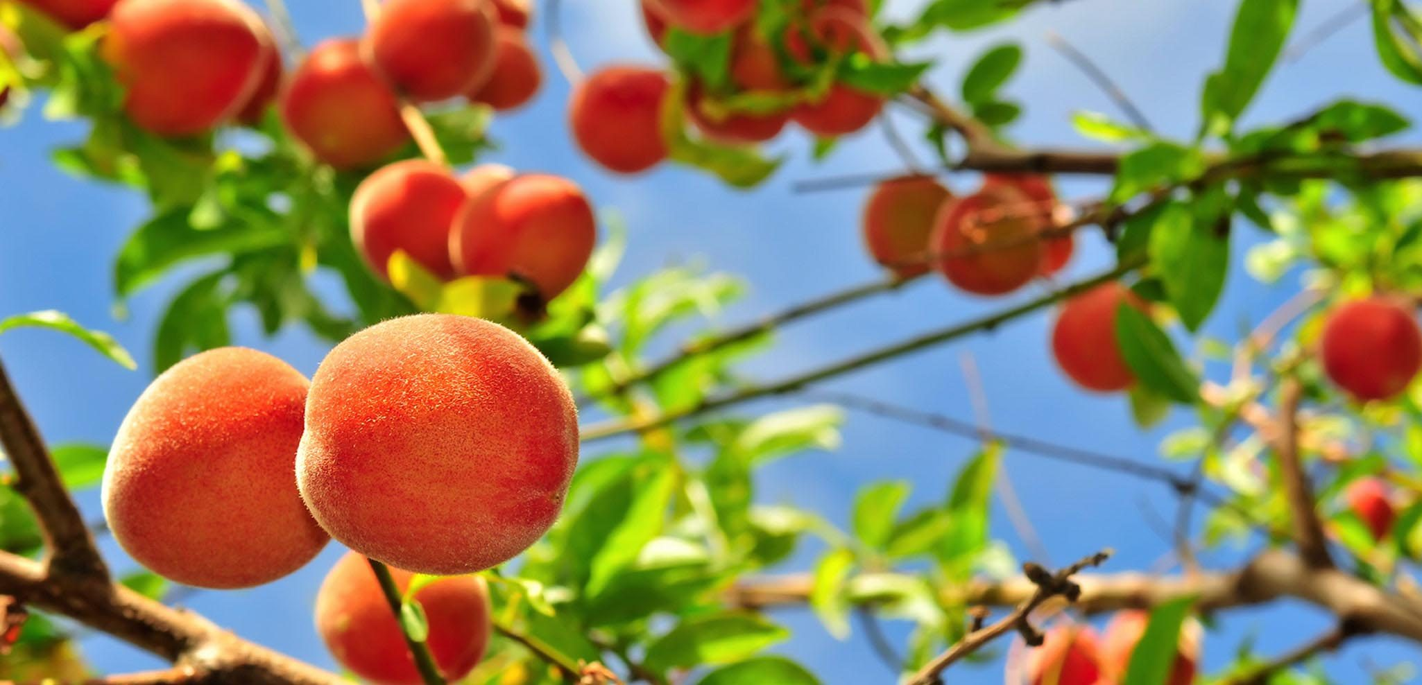 You can ripen peaches by placing them in a brown paper bag for two to three days.
