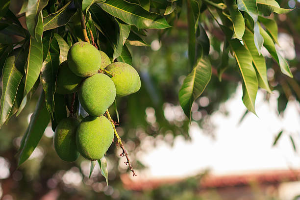 Bangladesh declared the Mango tree as its National Tree in 2010.