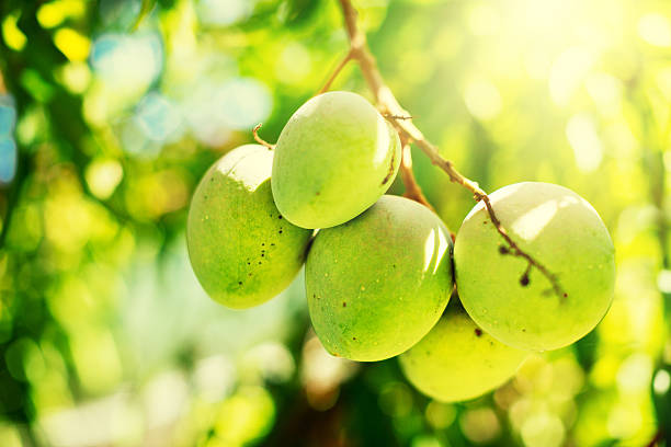 Mango trees were considered a symbol of prosperity in Ancient India.