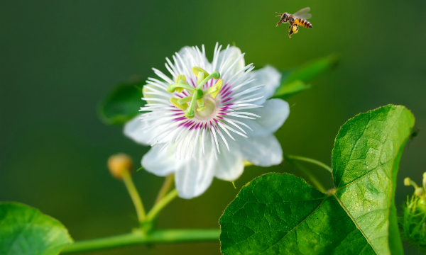 Passion fruit flower is the national flower of Paraguay.