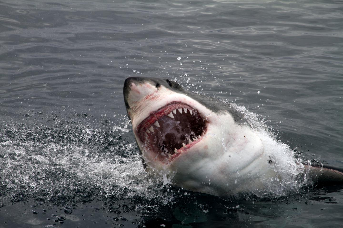 Sharks can transfer both their upper and lower jaws.