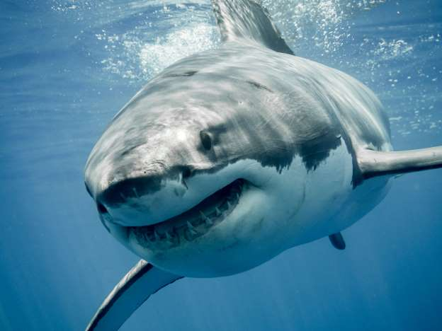 Sharks have eyelids, but they do not blink.