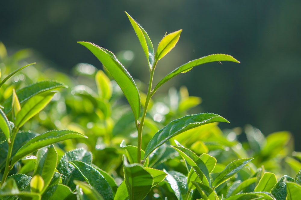 Tea plants require at least fifty inches of rain per year.