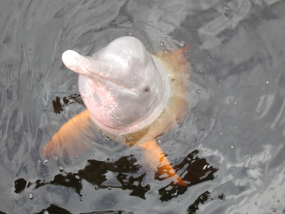 The Amazon River dolphin also is known as the boto is found in Bolivia.