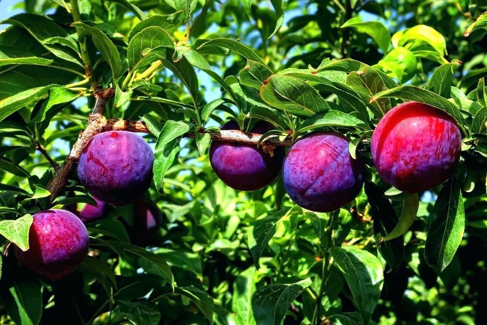 There are more than 200 varieties of plums.