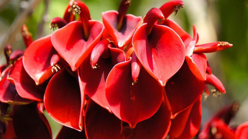 Ceibo flower